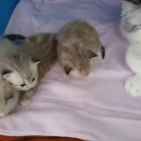 RagaMuffin Kittens