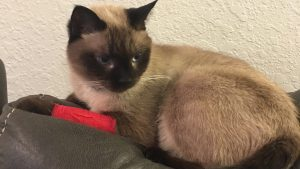My Siamese Cat Max had to Get His Leg Wrapped :(