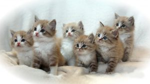 Ragamuffin Cat | History of This Exclusive Cat and Kittens