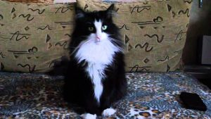 "A Norwegian Forest Cat – ""The Dog"" In The Cat's Skin"