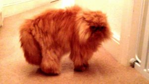Angry Persian Cat Miaowing & Hissing