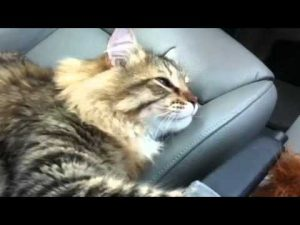 Engaging Siberian Cat Chitchat