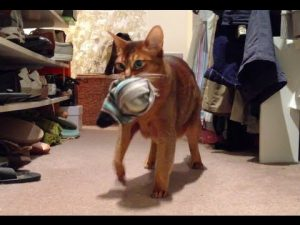 Hidden Camera Catches Theif – Abyssinian Cat Caught Stealing Clothes