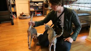 Just Saying Hello – Oriental Shorthair Cats