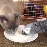 Luigi & Oscar - Tonkinese cat and African Grey parrot sharing a drink of milk
