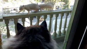 """Ragamuffin cat """"Muffin"""" and Squirrel Eye Each Other"""