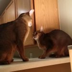 Abyssinian cat fight