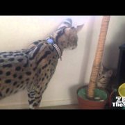 Tamed exotic cats (Cheetahs, servals, Caracal and f1 savannah)
