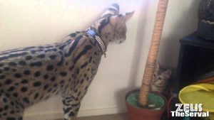 Tamed Exotic Cat!