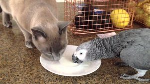 Luigi & Oscar – Tonkinese Cat And African Grey Parrot Sharing A Drink Of Milk