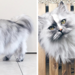 adopted-cat-fur-persian-halloalice-fb-new[1]